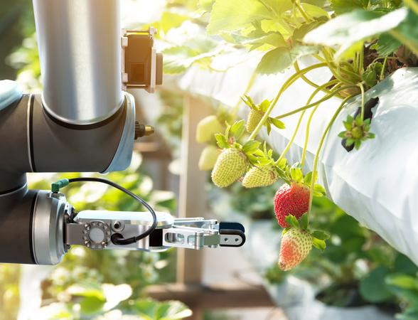 Smart machine picking strawberries in farm